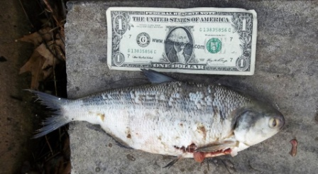 Anglers page for Lower niagara river fishing report